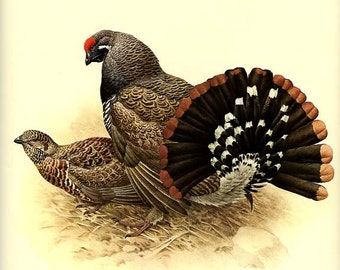 SPRUCE GROUSE- Vintage J. F. Lansdowne Book Plate 13 'Birds of the Northern Forest'