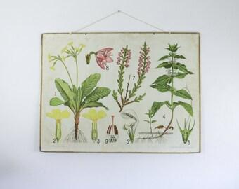 Vintage Botanical chart, Archange Nettle and Primula, Antique