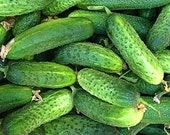 Pickling Cucumber Paris Gherkin Organically Grown Best Flavor Heavy Producer Quality Fruits Heirloom Rare Seeds
