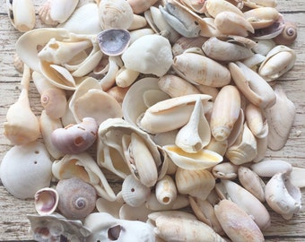 Craft Shells With Holes, Bulk Seashells, Gulf Coast Sea Shells, Sanibel Island Florida Seashells With Natural Holes Craft Supplies, 1LB/2LB