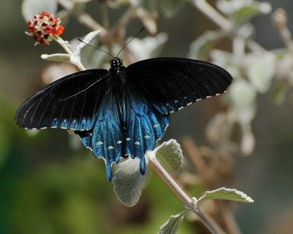 Pipevine Swallowtail - Alabama Butterfly Atlas |Pipevine Swallowtail Butterfly