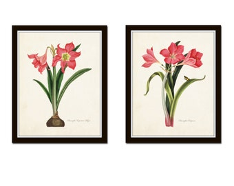 Amaryllis Botanical Print Set, Art Prints,Illustration, Antique Botanical, Vintage Botanical,Illustration, Giclee, Print Sets, Flower Prints