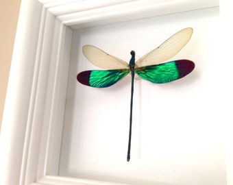 Real Dragonfly Taxidermy Shadowbox - Dragonfly Nature Home Decor, Dragonflies, Damselfly, Insects, Special Occasion, Anniversary, Birthday