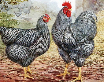 Vintage Rooster Hen Plymouth Rocks Chicken Printable Farm Animal Art Digital Download JPG Image