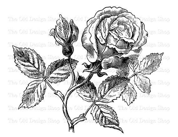 Rose Clip Art Vintage Marechal Riel Rose Printable Flower Botanical