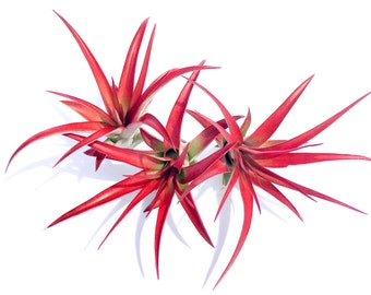 Air Plant Abdita mix of 50