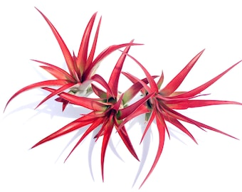 Air Plant Abdita mix of 3