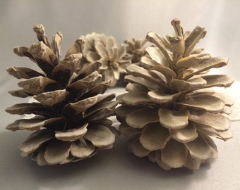 5 Bleached pinecones pine cones winter white 2-3 inches