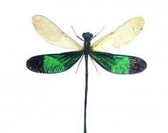 """2.5"""" Real Green Metal Wing Damsel Fly Neurobasis Chinensis spread dried insect and wings bug taxidermy"""