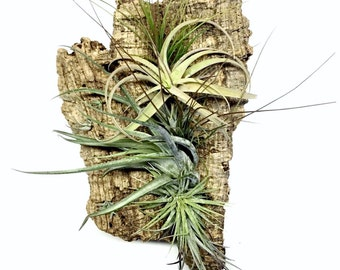 Air Plant Wall Hang: Vertical Garden, Air Plant Holder, Air Plant Hanger