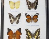 REAL 6 BEAUTIFUL BUTTERFLY Collection in Frame / BF12h