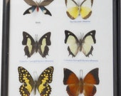 REAL 6 BEAUTIFUL BUTTERFLY Collection in Frame / BF12i