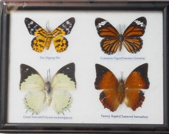 REAL 4 BUTTERFLY Wall Decor For Education Collectible Taxidermy Framed / BTF04t