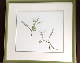 Spring Beauty Wildflowers Original Illustration