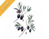 OLIVES, Olea Europea, Instant Download, digital clipart, olive branch, olives clipart, JPG and PNG, botanical illustration no.462