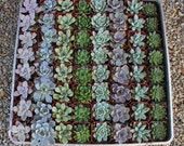 """40 ROSETTE Only Wedding Succulent collection potted in 2"""" containers collection of Beautiful WEDDING FAVOR Succulents Gifts~"""