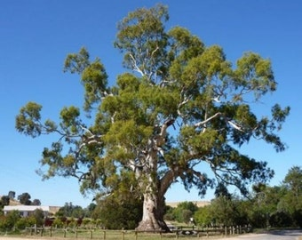 Red Gum Tree Seeds, Eucalyptus camaldulensis - 25 Seeds
