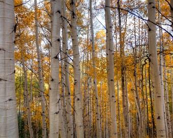 Aspens, Fall, Colorado, Leaves, Canvas, Metal Print, Autumn, Trees in Colorado, Colorado Fall Colors, Cabin Decor