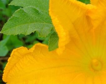 Squash Blossom, Garden Art, Garden Photography, Flower Photography, Flower Art, Maine Photography, Botanical Art