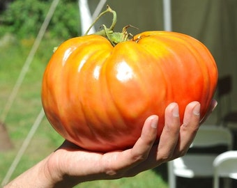 Oxheart Tomato Seeds,Open Pollinated - huge,Japanese Giant Tomato 1-2 lb.Great for Sandwiches, salads,grilling and more