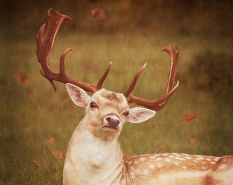Photography, Deer, Stag, Autumn leaves, Fine Art print