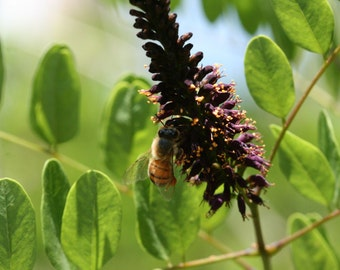 15 Seeds, Amorpha fruticosa, bees, beekeeping, Honey