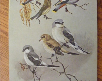 Vintage Lithograph Double Sided Bird Print Cedar Waxwing Northern Strike Multiple Vireos Allan Brooks