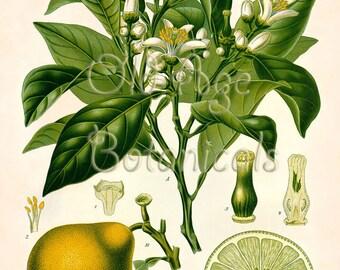 Kohler 13x19 Botanical Art Print BERGAMOT ORANGE Citrus Bergamia Risso Vintage Yellow Green Fruit Plate Room Wall Decor Illustration XBF0722