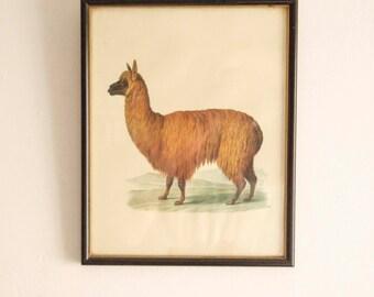 Alpaca art print frame. Vintage.