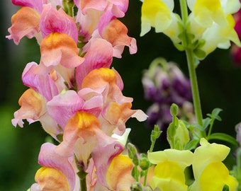 Baby Snapdragon Wildflower Packet