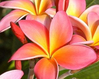 Rooted Plumeria Seedling, Live Seedling Plumeria, Tropical Plumeria Pink Flowers