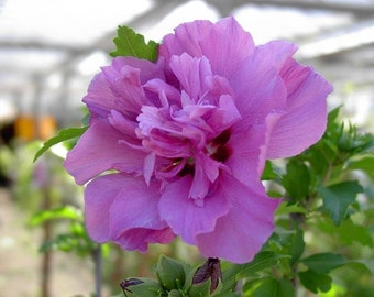 Live Rose Plant, Hibiscus Perennial Double Confederate Rose Of Sharon Bush Cotton Mutabilis Cuttings Sharon Hibiscus Plants