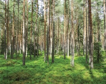 Nature Backdrop, Digital Photography Background, Sunny Pine Forest, Trees, Woods Wallpaper, Outdoors, Estonia 2ft, 61x61 cm