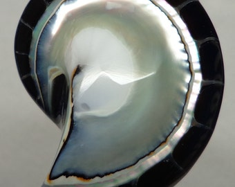 Black Tiger Nautilus Shell half 50mm x 33mm x 12mm