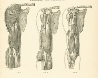 Antique Anatomy Print - Original Vintage Anatomical Print - Human Anatomy Small Chart - Muscles of Arm