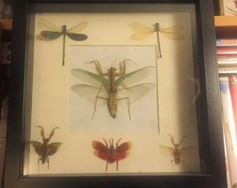 Free Shipping* Dried Taxidermy Bug Insect Mount Grasshopper Dragonfly Mantis Rhombodera basalis