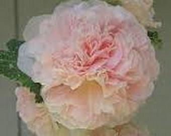 Hollyhock Chamois Rose - Apricot-buff *  Seeds