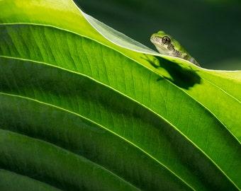 Peaking Frog