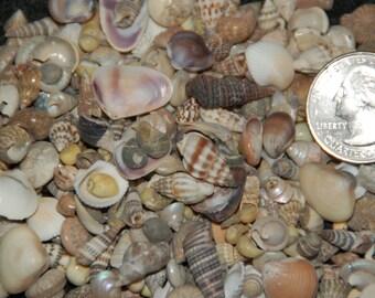 "Indian Ocean Tiny Mix Seashells-- 1/3 Cup (300+ Shells)--5/8"" And Under"