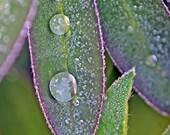 Leaf Art, Macro Photography, Rain Drops, Raindrops, Water Drop, Green and Purple Art, Vertical Wall Art, Lupin,Leaf Photo,Leaves Photography