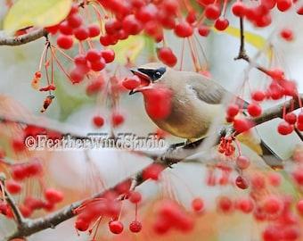 Cedar Waxwing | Fine Art Nature Photography | Popular Garden Bird Pic | Red Berry Tree | Masked Bird | Wax Wing Songbird Photo | Bird Print