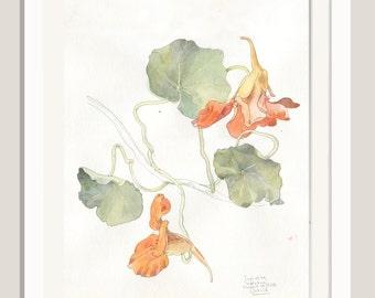 Nasturtium painting N1 - ORIGINAL watercolour of Nasturtium Capuchina flowers - pencil & watercolor drawing - Nasturtium botanical drawing