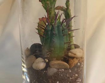 Succulent Plant Cylinder Glass Planter, 2 Cacti and Soil. Complete DIY Kit