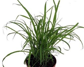 """Lemon Grass Plant - Cymbopogon - Also Repels Mosquitos - 4"""" Pot"""