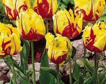 Flaming Parrot Tulip 8 Bulbs - EXOTIC - 12/+ cm Bulbs