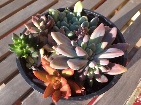 Succulent Gardens Beautiful With Such Vibrant Colors All