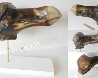 Dodo  -  Head of Oxford (Raphus cucullatus)