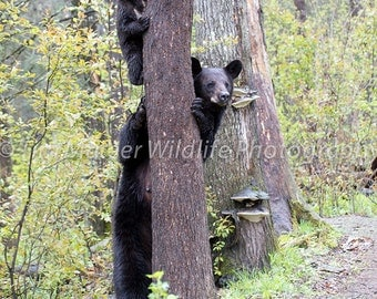 Black Bear With Cub Photo
