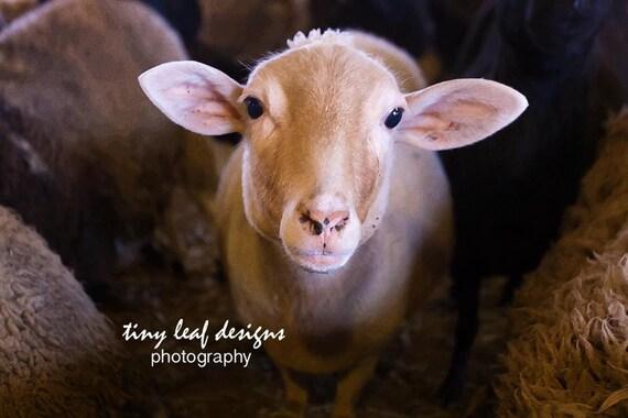 Sweet Sheep Original Photography