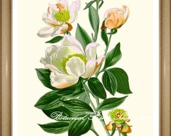 "Peony Print #1. Botanical Ilustratiion.  White Flower Print.  5x7"", 8x10"" 11x14"""